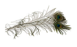 Peacock Feathers. Colorful peacock feathers with the illusion of an eye at the tip - path included Stock Photos