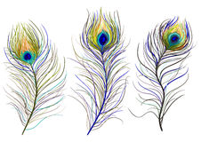 Peacock feathers. Vector hand drawn peacock feathers Royalty Free Stock Image