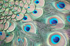 Peacock feathers. Peacock abstract showing detail of feathers Royalty Free Stock Photography