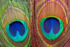 Peacock feathers. Royalty Free Stock Images
