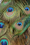 Peacock Feathers. The Indian Peafowl, Pavo cristatus also known as the Common Peafowl and the India Blue Peafowl is one of the species of bird in the genus Pavo Stock Photo