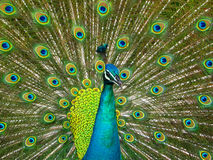 Peacock Feathers. Peacock showing off its plume feathers stock images