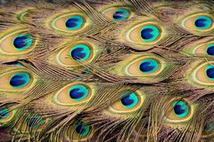 Peacock Feathers. Closed peacock plume. This is the back of a live peacock royalty free stock photography