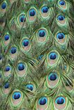 Peacock feathers. Pattern, background image Royalty Free Stock Image