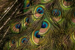 Peacock Feathers. Close up, seen diagonally Royalty Free Stock Image