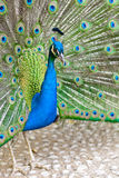 Peacock with feathers Royalty Free Stock Photo