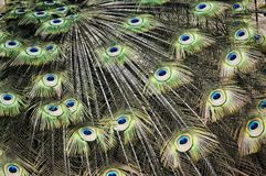 Peacock feathers. Feathers of a peacock closeup Stock Photography