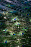 Peacock Feathers. Closeup of peacock feathers in sunlight Stock Images
