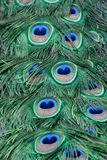 Peacock feathers. Close-up of bright green and blue peacock feathers royalty free stock photos