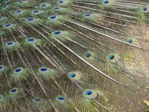 Peacock feathers Royalty Free Stock Image