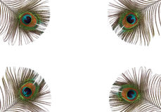 Peacock Feathers. Iridescent eyes of four peacock feathers set at each of the corners of the frame. Set against a white background Stock Photos