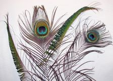 Peacock Feathers. On white background Stock Photo