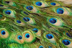 Peacock feathers. Peacock bird feathers close up Stock Images
