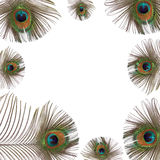 Peacock Feathers. Iridescent eyes of peacock feathers creating a frame, over white background Stock Photography