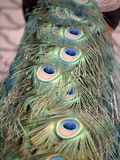 Peacock feathers. Peacock bird feathers close up Royalty Free Stock Images