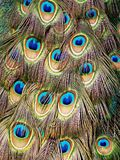 Peacock Feathers Close up Stock Photography