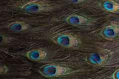Peacock Feathers. As a Background Stock Photos