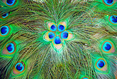 Peacock feathers for background. Peacock feathers beautiful background Stock Images