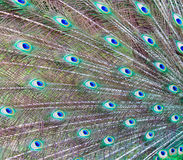 Peacock feathers background Royalty Free Stock Photos