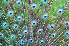Peacock feathers background Stock Images