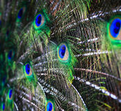 Peacock feathers background Royalty Free Stock Image