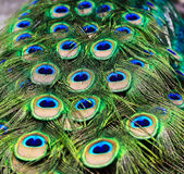 Peacock feathers background Royalty Free Stock Photography