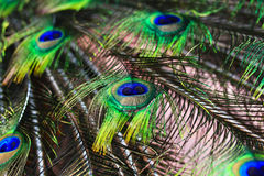 Peacock feathers background Royalty Free Stock Images