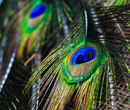 Peacock feathers background Stock Photo