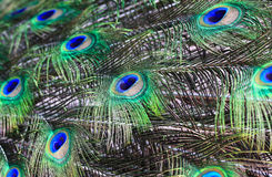 Peacock feathers background Stock Photography