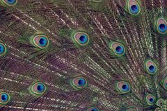 Peacock feathers background. Indian peacock feather pattern,close up Stock Images
