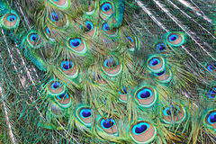 Peacock feathers background Stock Image