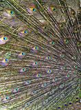Peacock feathers background Royalty Free Stock Photo