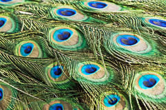 Peacock feathers. Close up of colorful peacock feathers Stock Image