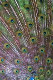 Peacock feathers. Close-up. Colorful background Stock Photos
