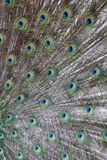 Peacock feathers. Close-up. Colorful background Stock Photo