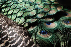 Peacock feathers. Close-up detail Royalty Free Stock Photo