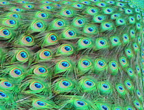 Peacock feathers. Close up of peacock feathers on the ground while peacock is closing his feathers stock photos