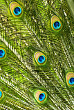 Peacock feathers closeup Stock Image