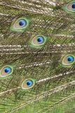 Peacock feathers closeup Royalty Free Stock Photos