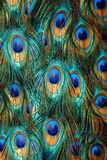 Peacock feathers Stock Image