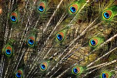 Peacock Feathers, Colorful, Bird Royalty Free Stock Photos