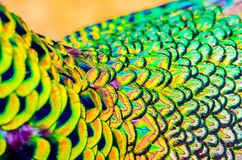 Peacock feathers is colorfully. Royalty Free Stock Image
