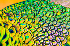 Peacock feathers is colorfully. Royalty Free Stock Photos