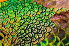 Peacock feathers is colorfully. Royalty Free Stock Photography