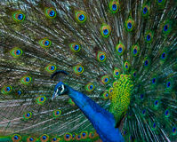 Peacock. With feathers fanned showing his stunning colours Stock Image