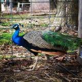 Peacock. Feathers on the farm stock photos