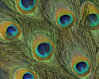 Peacock feathers. Full frame abstract background with some colorful peacock feathers in dark back royalty free stock photography