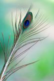 Peacock feathers on the green background.  Stock Image