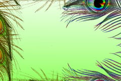 Peacock feathers in green background with text copy space Stock Photo