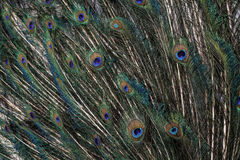 Peacock feathers. Peacock green and blue plumage in close up Royalty Free Stock Images